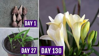 How to Plant, Grow & Care Freesia in Pots [130 Days Update]