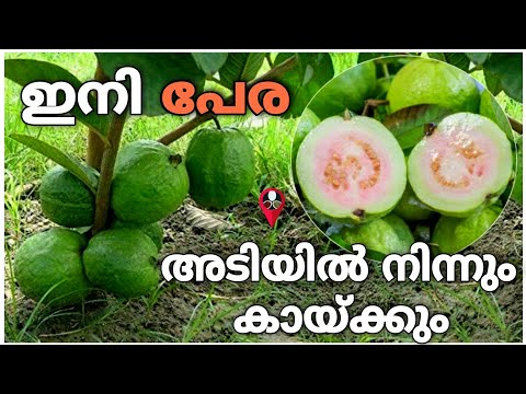 , title : 'ഇതൊന്ന് മാത്രം മതി പേരക്ക നിറയെ കായ്ക്കാൻ | perakka krishi in malayalam | guava cultivation tips