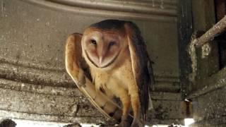 Barn Owls In Kentucky