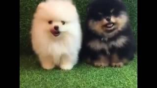 Лучшие Приколы про шпицев  | Подборка приколов про собак и щенков померанских шпицев #3