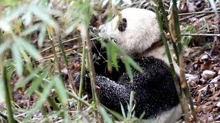 Giant Pandas Eye New Homes In The Wild