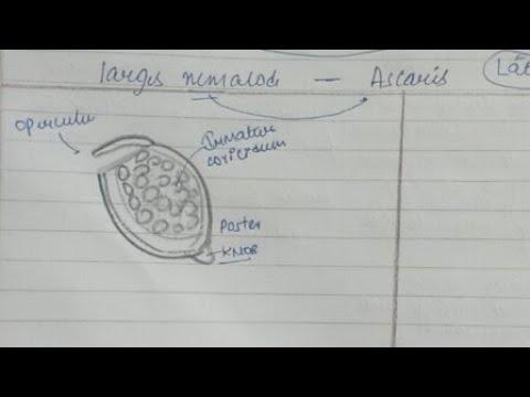 Determinarea ovulelor și a paraziților