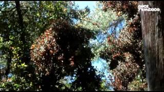 El libro rojo, Especies amenazadas - Mariposa monarca, viajera en el tiempo