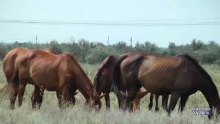 Лошади, Казачьи кони