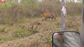 AS TIGER CROSSES CLOSE TO JEEP UNFOLD AMAZING WILDLIFE  4K