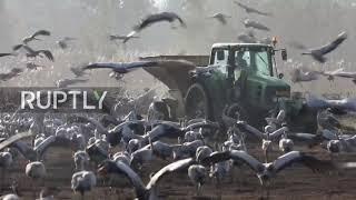 MorzeMorze żurawi - ptaki gromadzą się w izraelskim rezerwacie przyrody w drodze do Europy żurawi - ptaki gromadzą się w izraelskim rezerwacie przyrody w drodze do Europy