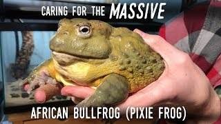 "Setting Up a Truly GIANT Frog: Meet my New 7"" AFRICAN BULLFROG!"