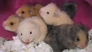 Breeding hamsters HOW MUCH YOU CAN EARN A BUSINESS IDEA