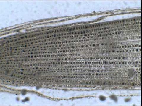 La liste des vernis des microorganismes végétaux