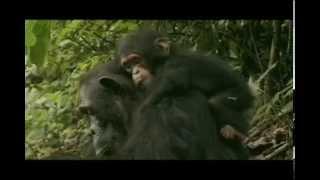 Chimpanzee - Motherhood