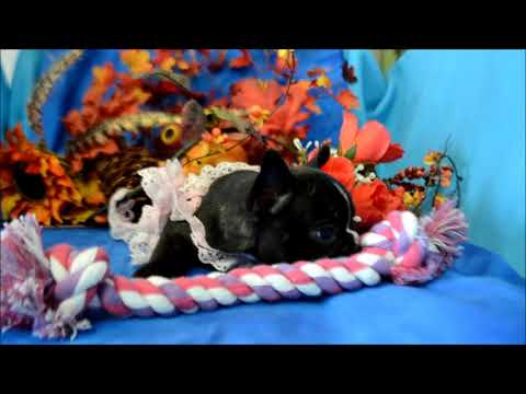 Nikki AKC Black Brindle French Bulldog Puppy for sale.