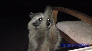 Raccoon Trick - Clapping