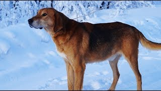 Смотреть онлайн Охота на зайца с русскими гончими