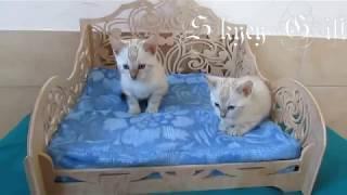 бенгальская кошка, продам бенгальский котенок, смешные кошки, шикарные кошки