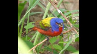 Up Close with Painted Buntings and More