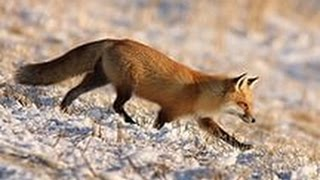 Смотреть онлайн Зимняя охота на лису с петлями и на приманку