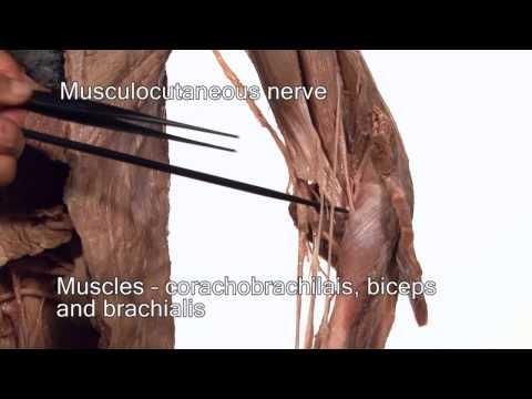 Pour la croissance des muscles de loeuf