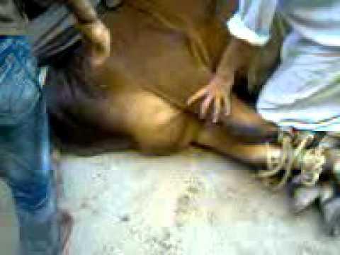 Meray Mamo Ki Cow.3gp
