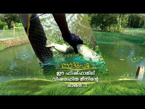 വിനോദത്തിനായി തുടങ്ങി; പൗലോസിന്റെ ഫിഷ്ഫാമില് വിഷരഹിത മീനിന്റെ 'ചാകര' | Nattupacha | Fish farm