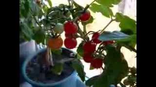 Смотреть онлайн Как вырастить помидоры на подоконнике для начинающих