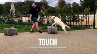 1 year old lab, Yellow! | London Dog Trainers