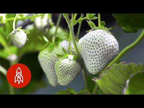Neobyčejné bílé jahody