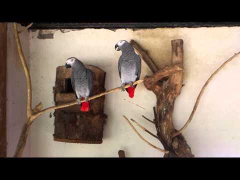 Video burung nuri terbaik (african parrot)
