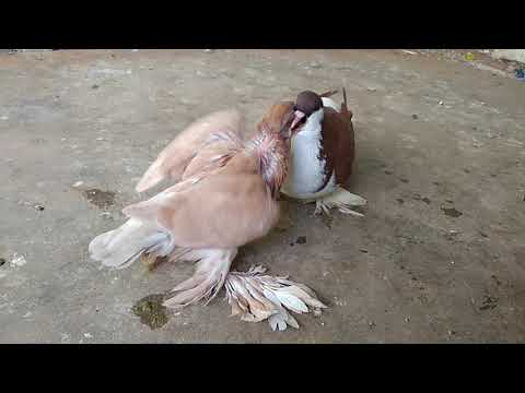 siraji red fighter pigeon with yellow baby pigeon