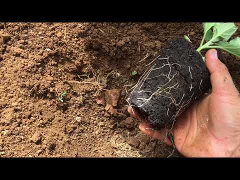 , title : 'How to plant eggplant starts!🍆🍆