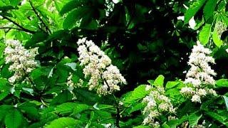 Как цветет каштан. Каждый день снимали пробуждение природы! Flower chestnut