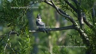 ヤマセミの動画素材, 4K写真素材