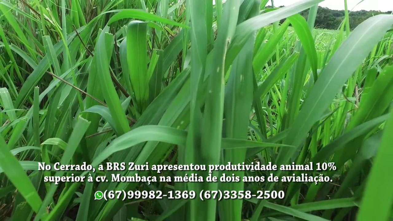 SEMENTES BOI GORDO - BRS ZURI