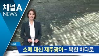 소떼 대신 제주광어…북한 바다에서 기릅시다 | Kholo.pk