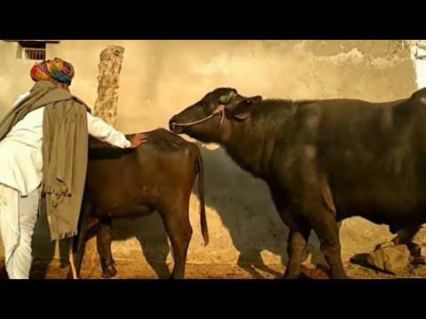 martin | rhino martin with buffalo bull | buffalo mating | buffalo soldier bob marley lyrics
