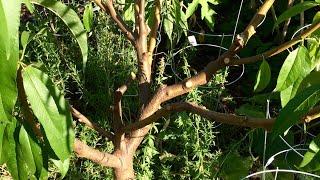 Don't be Afraid to Prune Hard - Summer Pruning