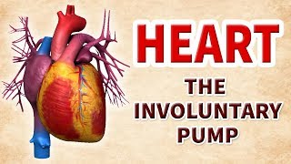 How Our Heart Works | Involuntary Pump | Educational Videos | human heart