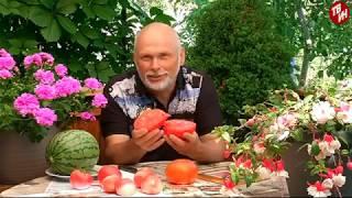 Демонстрационное поле под АККО. Порционные арбузы. Новинки томатной селекции.
