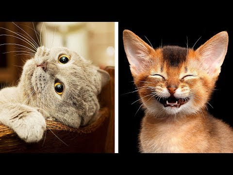 The 10 Most Dangerous Cat Breeds in The World