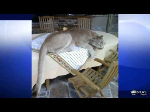 Stuffed Mountain Lion Prompts 911 Call