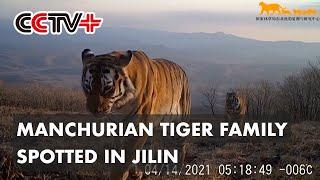 Latest Manchurian Tiger Family Found in Jilin