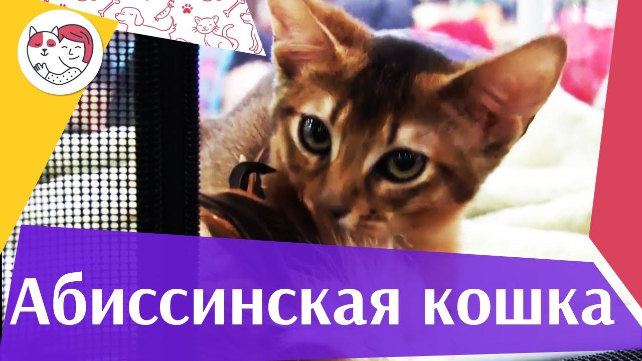 Абиссинская кошка на  ilikepet
