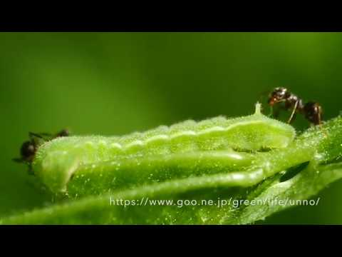 アサマシジミの幼虫とアリ Lycaeides subsolana