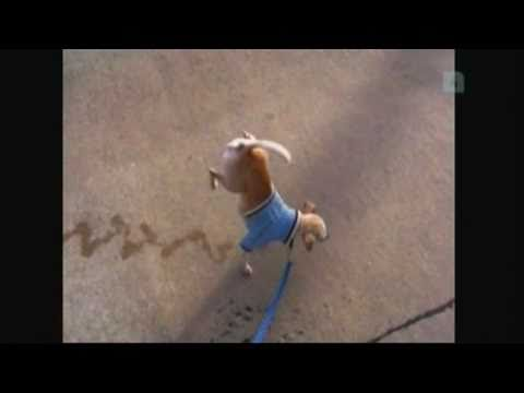 Very Funny Dog Peeing While Walking On Two Legs