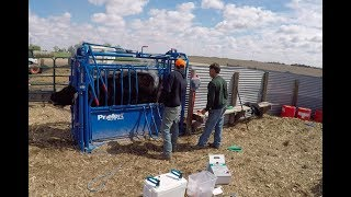 Vaccinating Branding and Aging Cattle - Priefert SO4 Squeeze Chute