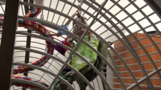 Truman Cape Parrot - Hanging Upside Down Playing With Toys