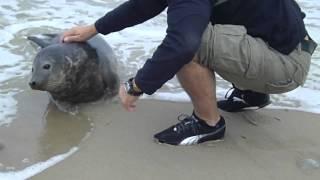 Ручной Тюлень на берегу
