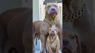 dangerous dog that are  banned  🦮🦮