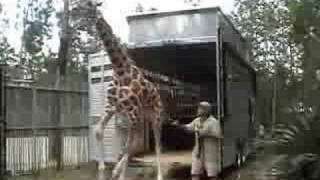 Custom Transport for Coulter the Giraffe