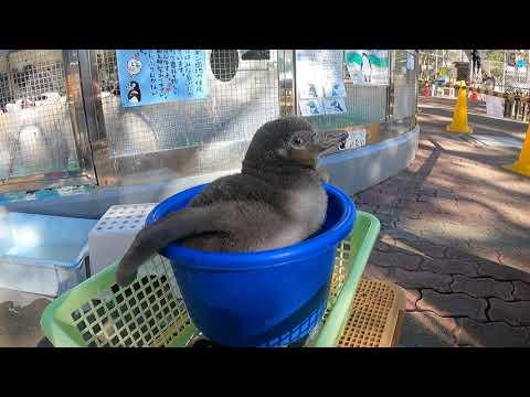 フンボルトペンギンの赤ちゃん 本丸さんの体重測定