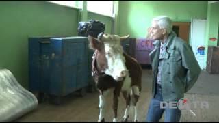 Корова предсказала мэра Владивостока